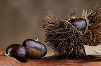 CHESTNUT Chestnut is an indehiscent dry fruit which means that it does not open up at maturity contained in a prickly chestnut bur. The chestunut bur ...