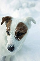 Jack Russell terrier standing in snow, looking away (thumbnail)