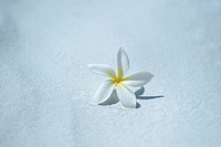 Single frangipani plumeria blossom