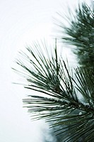 Pine needles lightly dusted with snow, close-up