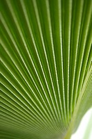 Palm leaf, extreme close-up