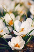 White Crocus in Bloom. Crocus biflorus ´Purity´. March 2007, Maryland, USA