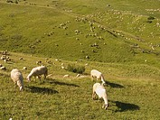 Sheep grazing in pasture and hills