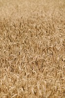 Field of dry wheat