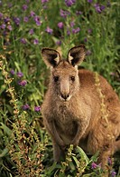 Kangaroo in Australian Outback