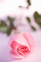 Pink rose