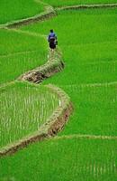 White Tay ethnic tribe in rice field, Ban Ko Muong, Hoa Binh province, Vietnam