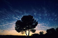 Pine tree at sunset. Las Rodanas, Valencia province, Comunidad Valenciana, Spain
