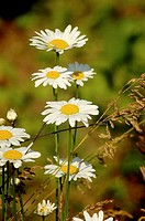 Daisies grow wild among weeds, Pennsylvania, USA