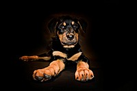 Rottweiler Puppy on Black Background