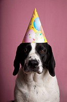 Springer Spaniel Mix Dog in Birthday Hat