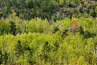 Forested ridges with birch, aspen and red pine in springtime