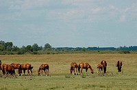 Hungary, Bugac, the Puzsta, horses