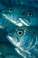 School of bigeye jackfish and scubadiver Bali Indonesia
