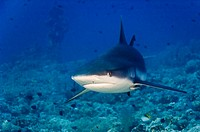 Grey reef shark Sudan