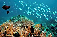 Coral reef scene Ko Surin Thailand