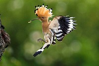 Hoopoe (Upupa epops), landing at its nesting hole in an old cherry tree, Alsace, France