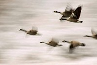 Canada geese (Branta canadensis) in flight, Trout Lake Natural Area Preserve, Washington, USA