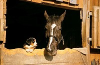 animal friendship : Bernese Mountain Dog puppy and horse