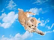 Maine Coon kitten twelve weeks _ jumping