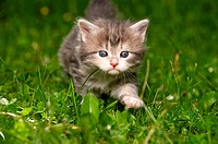 Maine Coon cat _ kitten four weeks walking on meadow