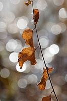Birch twig with brown leaves (Betula sp.) in front of a lake. Autumn,Västernorrland, Norrland, Sweden, Scandinavia, Europe