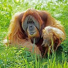 Bornean Orangutan _ sitting in meadow / Pongo pygmaeus