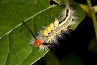 White-marked tussock moth, Michigan, USA