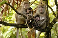 Bako National Parks baby monkey feeling on the mom´s milk.