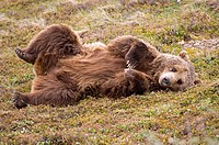 Brown Bear (Ursus arctos), Denali National Park, Alaska, USA, North America