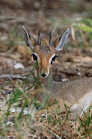 Guenther's Dikdik (Madoqua guentheri), Samburu National Reserve, Kenya, East Africa, Africa