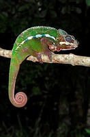 Panther Chameleon (Furcifer pardalis), male