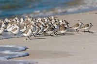 Sandpipers, Florida, USA