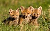 Red Fox cubs (Vulpes vulpes)