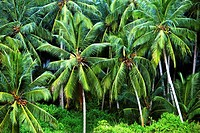 India. Coconut palms in a tropical forest near Trivandrum.