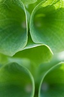 Bell shaped leaves, extreme close-up