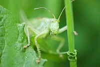 Grasshopper perched on leaf