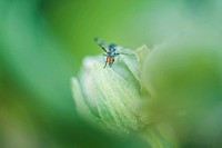 Insect on flower bud