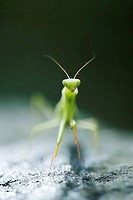 Praying mantis, front view