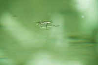 Water strider skating across surface of water