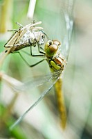 Dragonfly recently emerged from old exoskeleton clinging to empty husk, drying wings