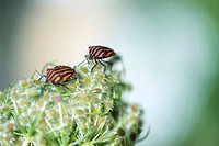 Two Striped Shield bugs graphosoma lineatum together on flower