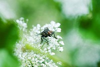 Flesh fly sarcophaga on white flowers