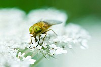 Horse fly perched on white flower drinking pollen