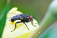Flesh Fly on yellow flower