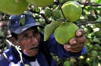 Farmer harvesting citrus fruit, Sapecho, Alto Beni, Bolivia, South America
