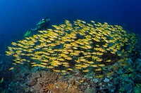 Scuba Diver with a school of Bluestripe Snappers or Bluestripe Sea Perch Lutjanus Kasmira, Indonesia, Asia