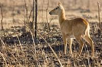 Puku, Kafue National Park, Zambia.