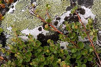 Dwarf birch Betula nana growing on a lichen_covered rock. Photographed in Dovrefjell National Park, Norway.