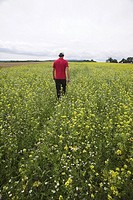 Man walking through a field of Rapeseed Brassica napus, Nordschwarzwald, north Black Forest, Baden_Wuerttemberg, Germany, Europe